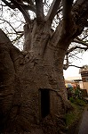Baobab of Stanley